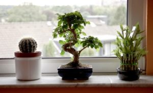 lucky-bamboo-bonsai-easy-indoor-plants